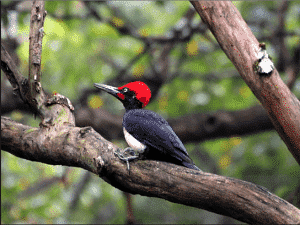 White-bellied Black Woodpecker, Asset of Korea