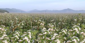 Sea of Apple Blossoms in Wonhung