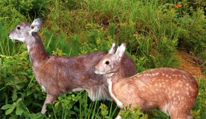 Natural Monument—Korean Musk Deer  in Mayang