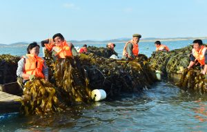 Bumper Harvest of Seaweed.