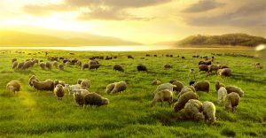 Flocks of Sheep Grazing by Lake Pujon.