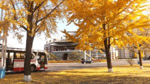 Autumn-Tinted Ginkgo Trees Add Beauty to Streets in Pyongyang
